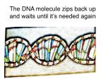 the dna molecule zips back up and waits until it s needed again