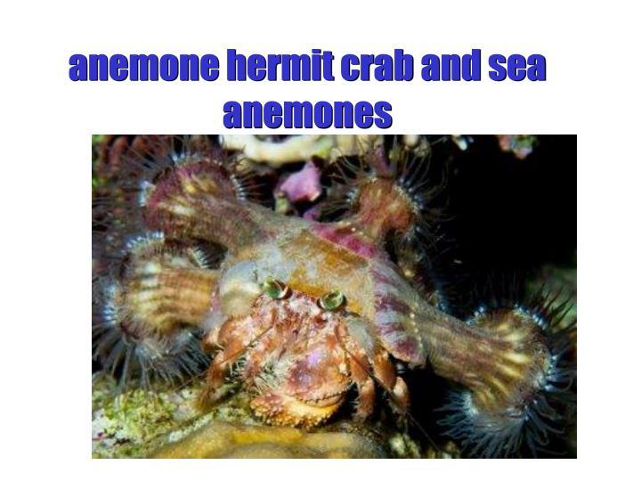 anemone hermit crab and sea anemones