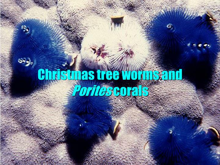 Christmas tree worms and