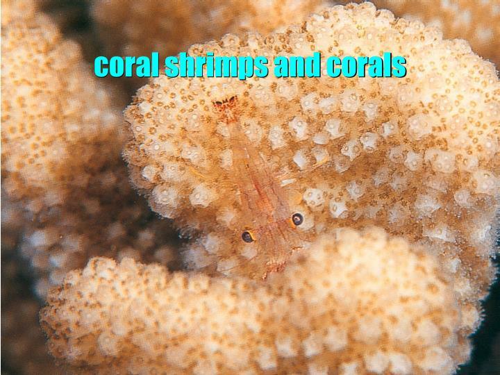 coral shrimps and corals