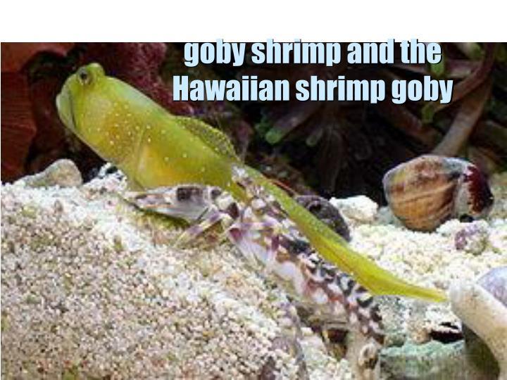goby shrimp and the Hawaiian shrimp goby