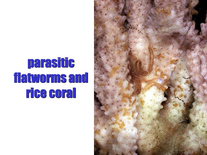 parasitic flatworms and rice coral
