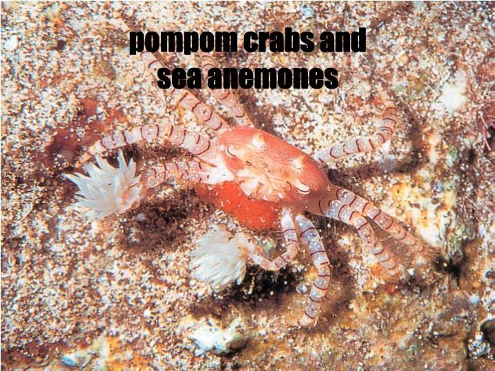 pompom crabs and sea anemones
