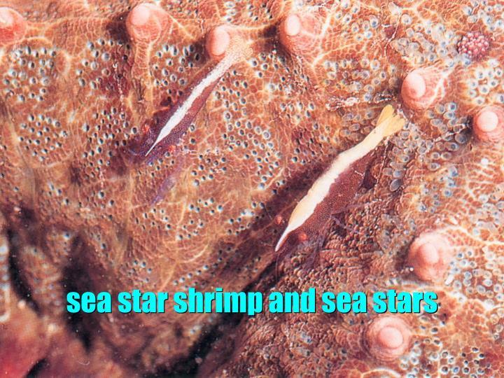 sea star shrimp and sea stars