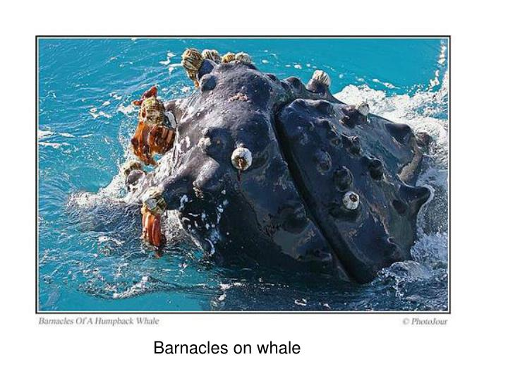 Barnacles on whale