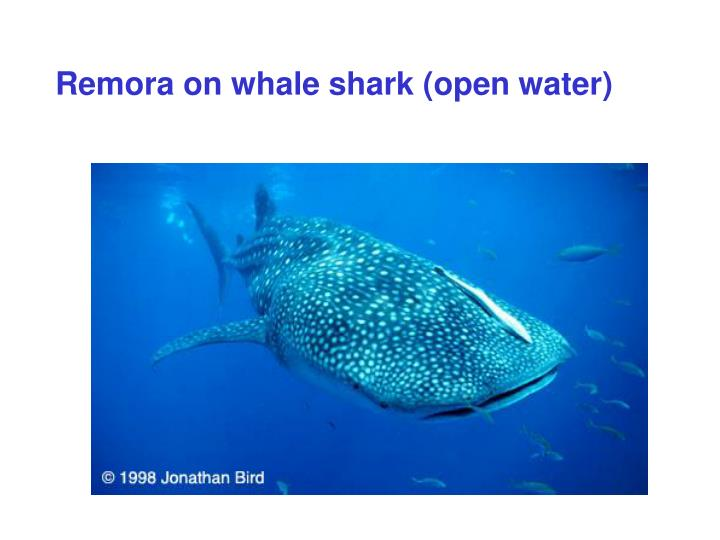 Remora on whale shark (open water)