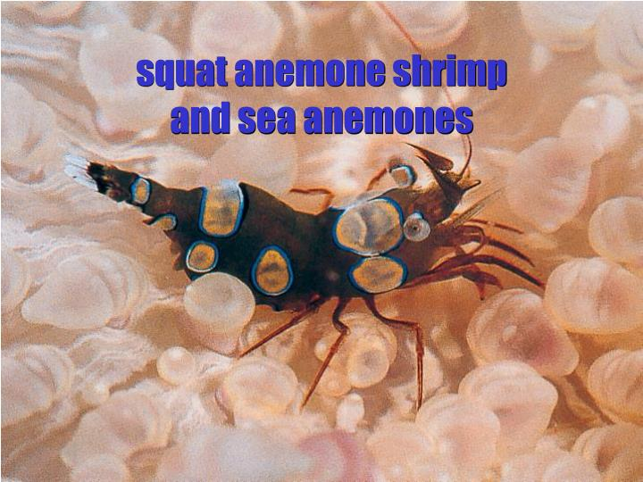squat anemone shrimp and sea anemones