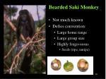 bearded saki monkey