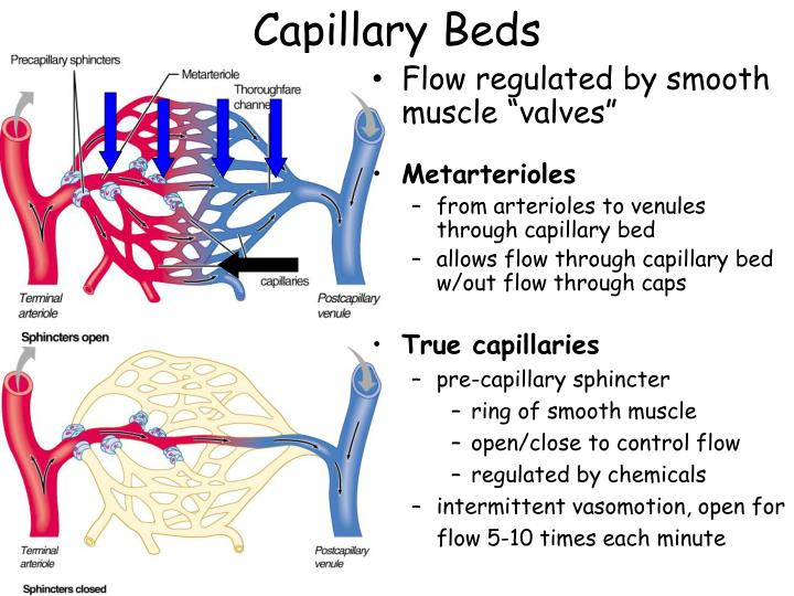 Anatomy of a capillary bed