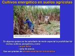 cultivos energ tico en suelos agr colas