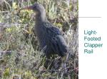 light footed clapper rail