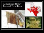 africanized honey bee and feral bees