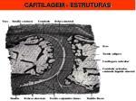 cartilagem estruturas