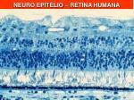 neuro epit lio retina humana