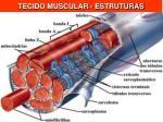 tecido muscular estruturas