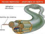 tecido nervoso anatomia do nervo