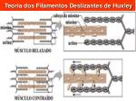 teoria dos filamentos deslizantes de huxley
