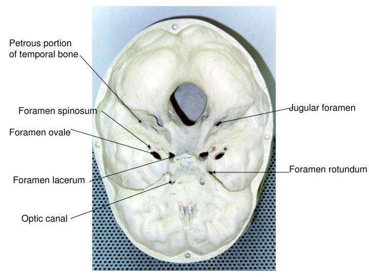 Ppt Incisive Foramen Powerpoint Presentation Id6875522