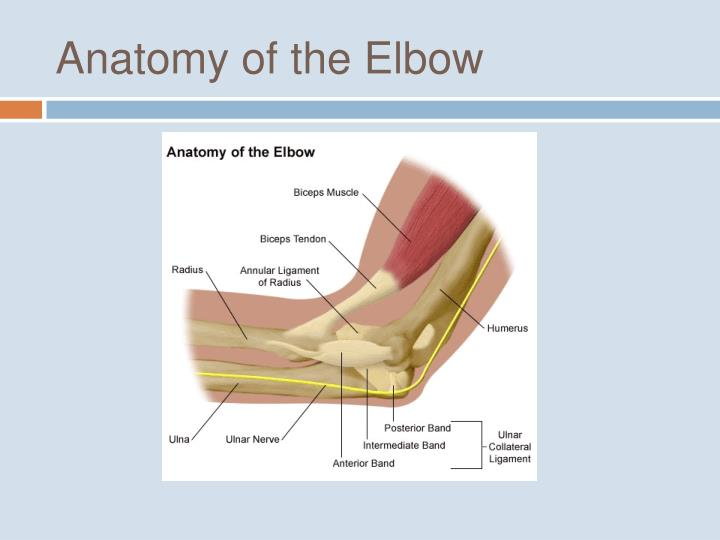 Ppt Ulnar Collateral Ligament Of The Elbow Powerpoint Presentation