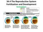 34 4 the reproductive system fertilization and development gastrulation