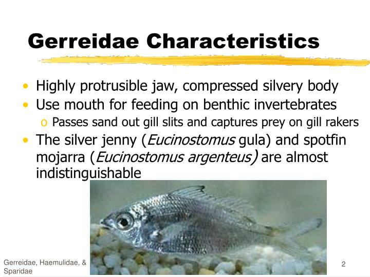 Gerreidae characteristics
