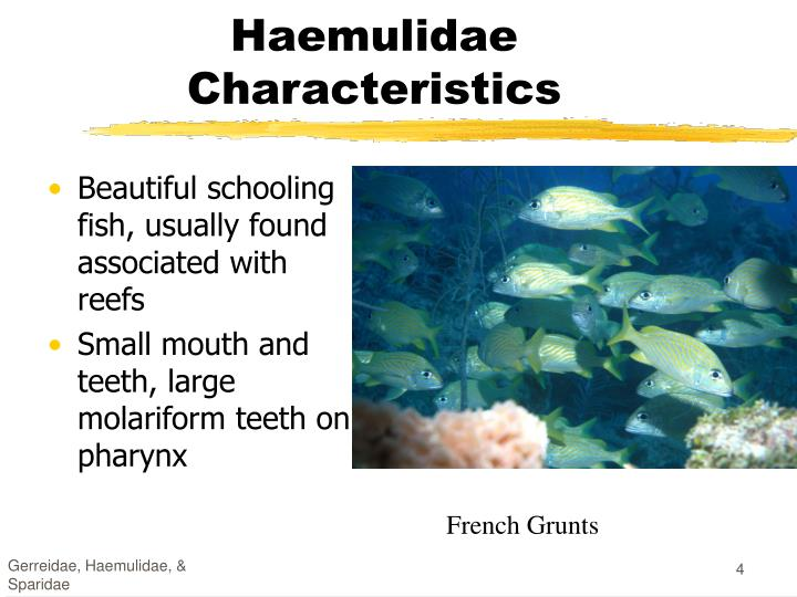 Beautiful schooling fish, usually found associated with reefs