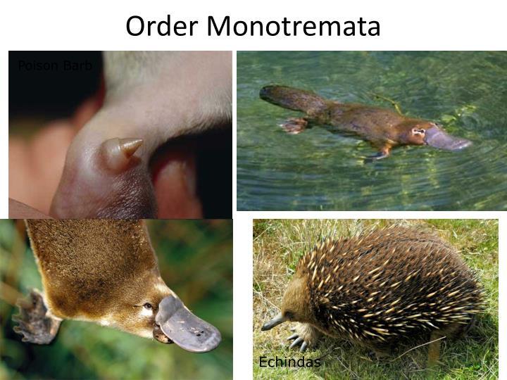 Order Monotremata