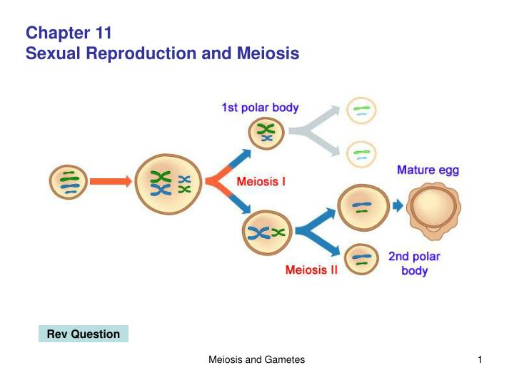 Ppt chapter 11 sexual reproduction and meiosis powerpoint chapter 11 ccuart Images