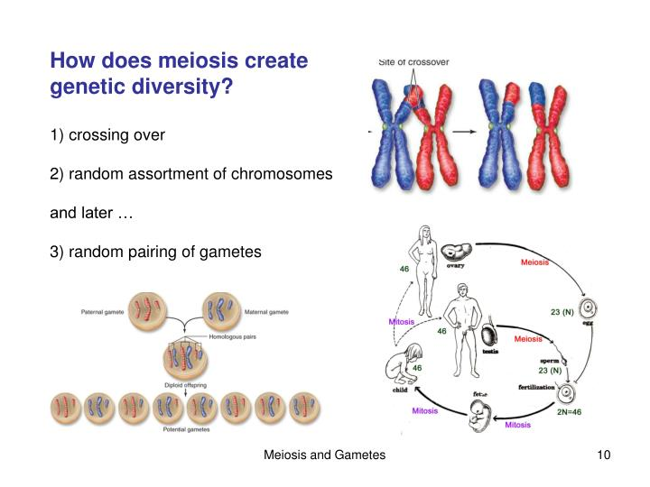 Ppt chapter 11 sexual reproduction and meiosis powerpoint how does meiosis create ccuart Choice Image