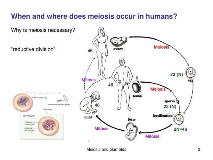 Ppt chapter 11 sexual reproduction and meiosis powerpoint when and where does meiosis occur in humans ccuart Choice Image
