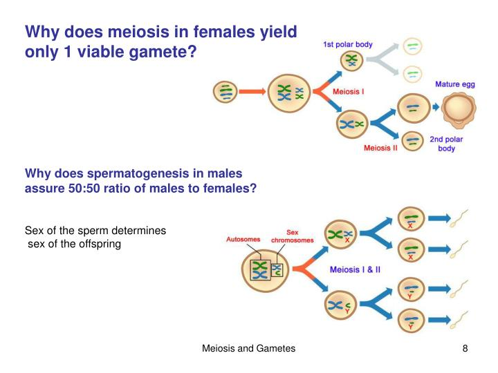 Ppt chapter 11 sexual reproduction and meiosis powerpoint why does meiosis in females yield ccuart Choice Image