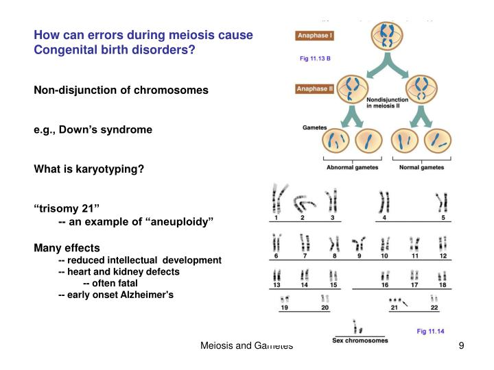 Ppt chapter 11 sexual reproduction and meiosis powerpoint how can errors during meiosis cause ccuart Images
