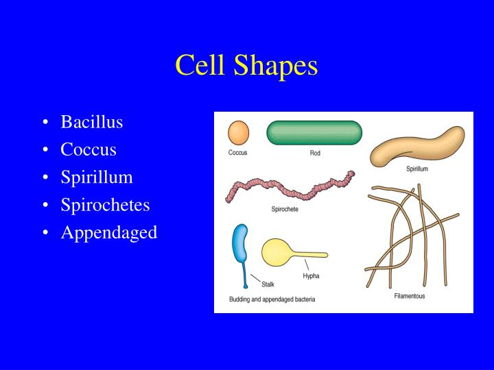 Cell Shapes