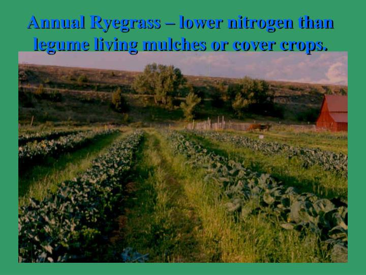 Annual Ryegrass – lower nitrogen than legume living mulches or cover crops.