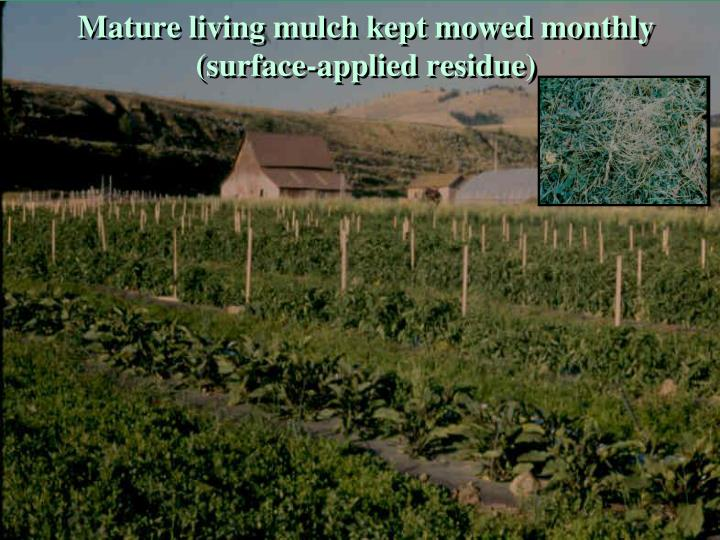 Mature living mulch kept mowed monthly (surface-applied residue)