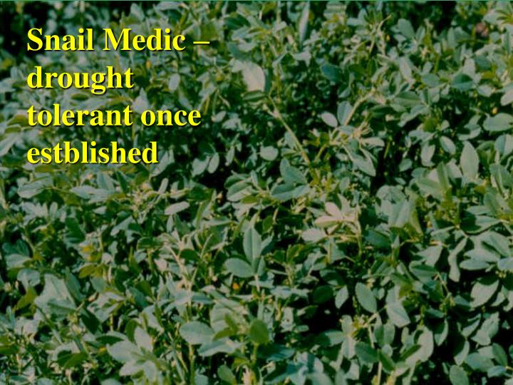 Snail Medic – drought tolerant once