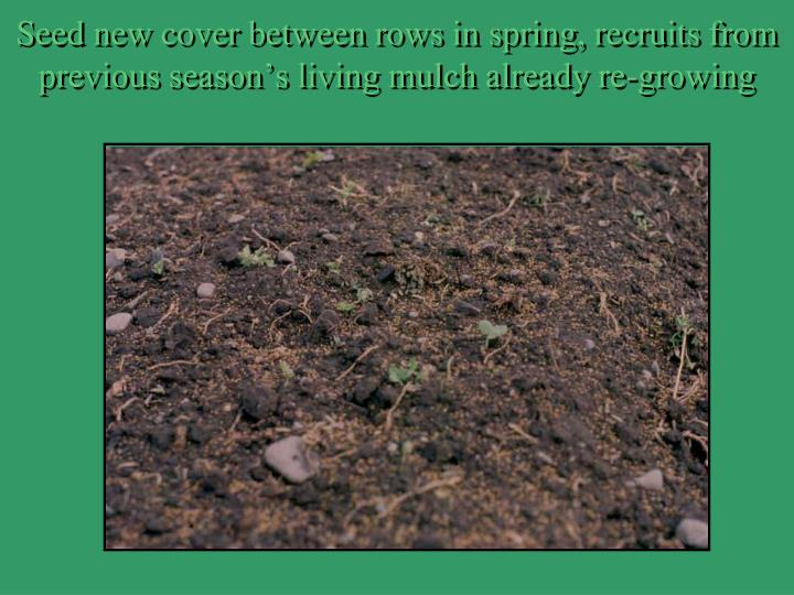 Seed new cover between rows in spring, recruits from previous season's living mulch already re-growing