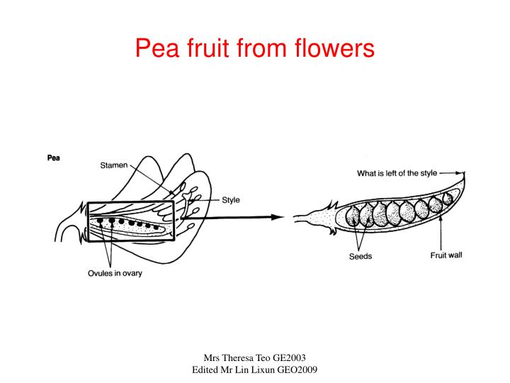 Pea fruit from flowers