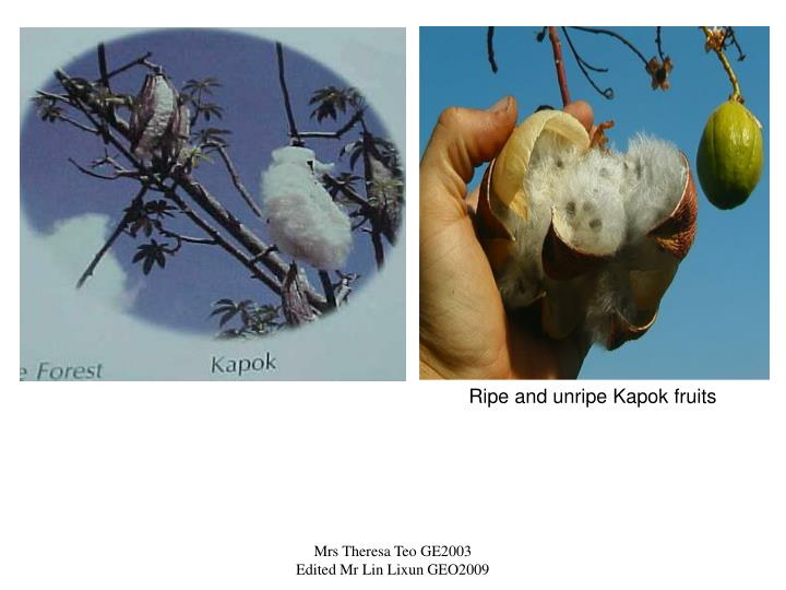 Ripe and unripe Kapok fruits