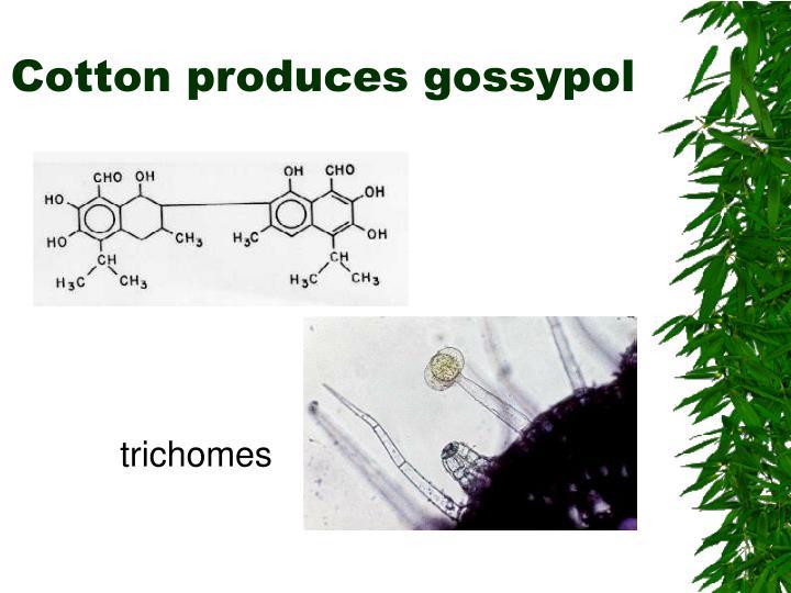 Cotton produces gossypol