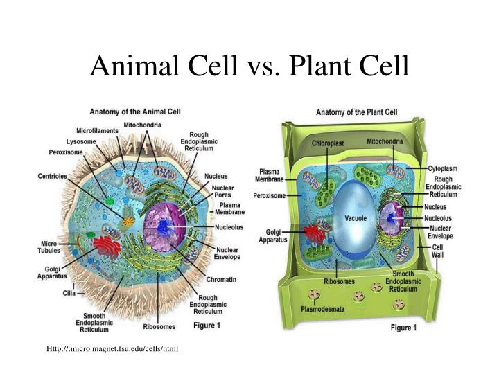 Animal Cell vs. Plant Cell