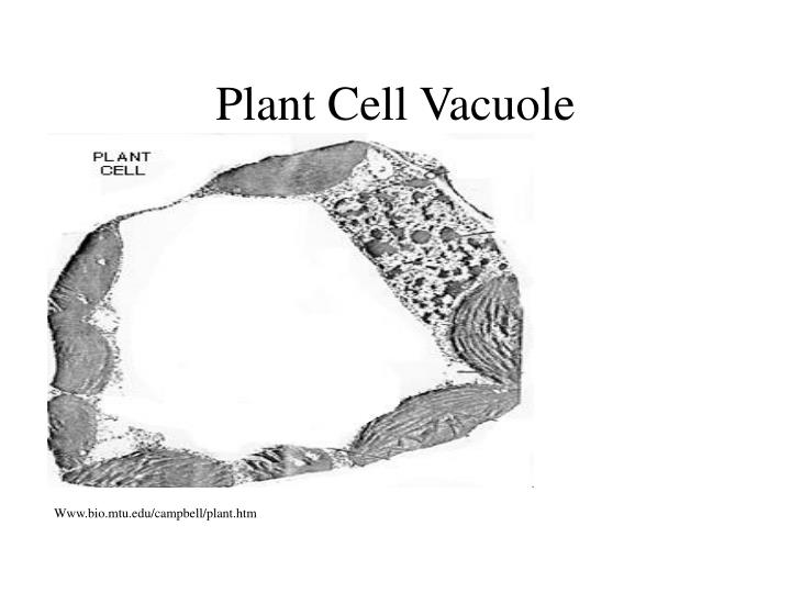 Plant Cell Vacuole