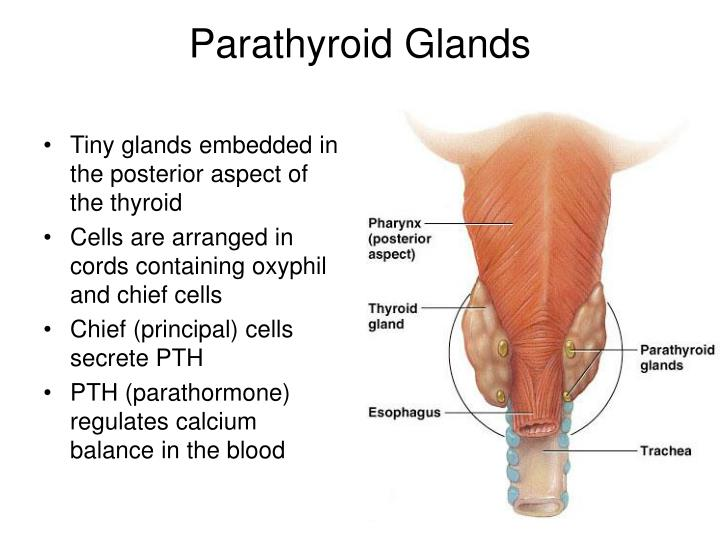 Tiny glands embedded in the posterior aspect of the thyroid