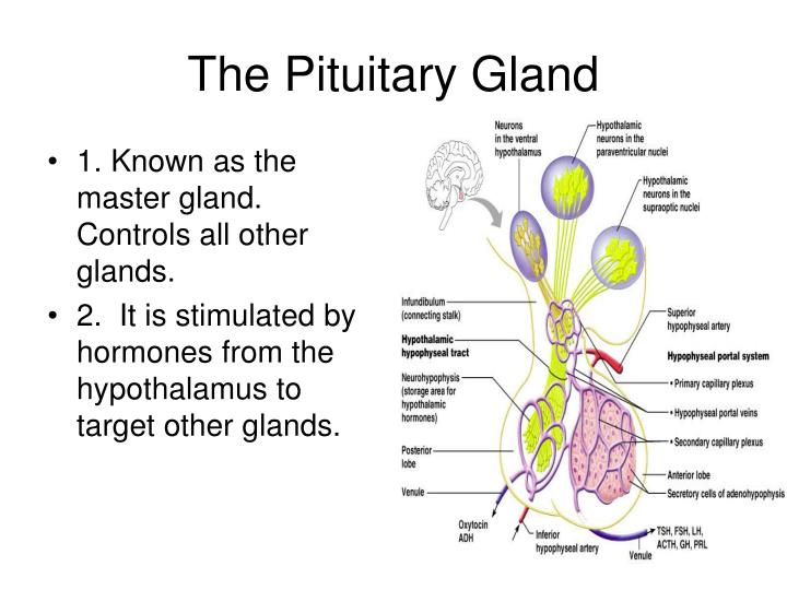 1. Known as the master gland.  Controls all other glands.