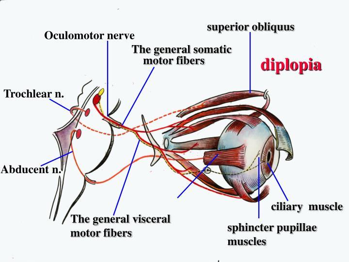 somatic motor fibers