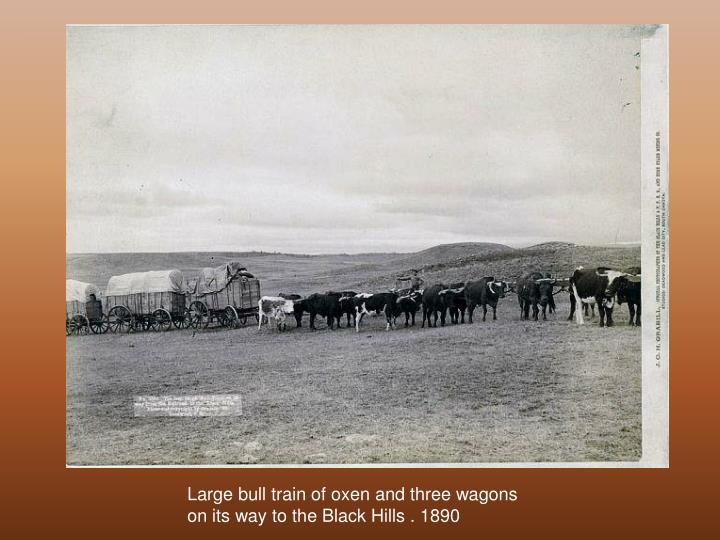 Large bull train of oxen and three wagons  on its way to the Black Hills . 1890