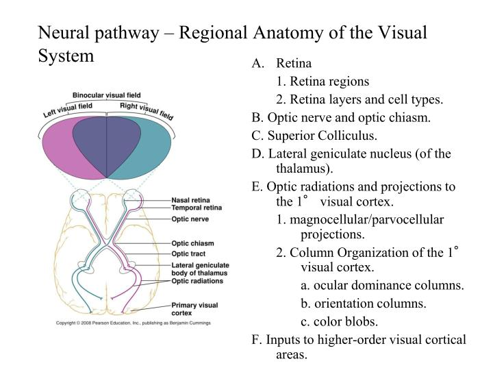 PPT - Visual System PowerPoint Presentation - ID:6909191