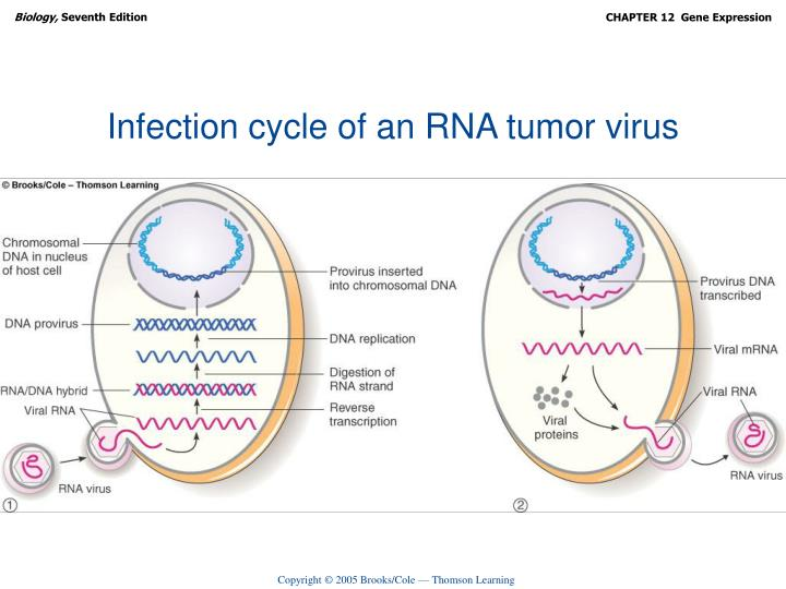 Infection cycle of an RNA tumor virus