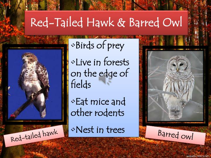 Red-Tailed Hawk & Barred Owl