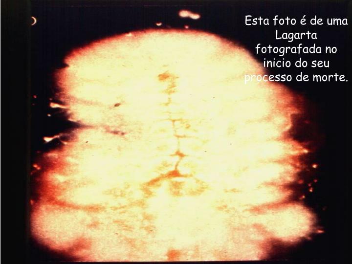 Esta foto é de uma Lagarta fotografada no inicio do seu processo de morte.